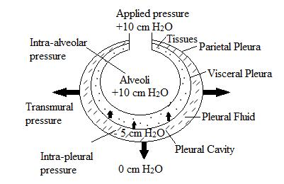 inspiration during positive pressure ventilation