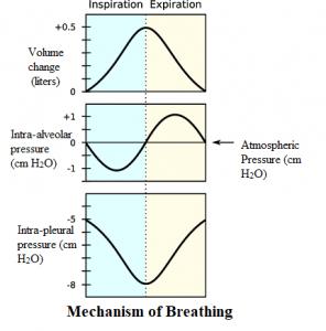 Breathing Cycle Diagram